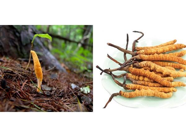 Sự khác nhau giữa đông trùng hạ thảo tươi và đông trùng hạ thảo khô