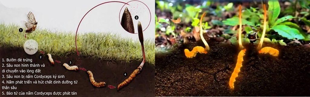 Nguồn gốc hình thành Đông trùng hạ thảo trong tự nhiên